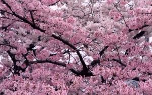 the unique of sakura flower in japan