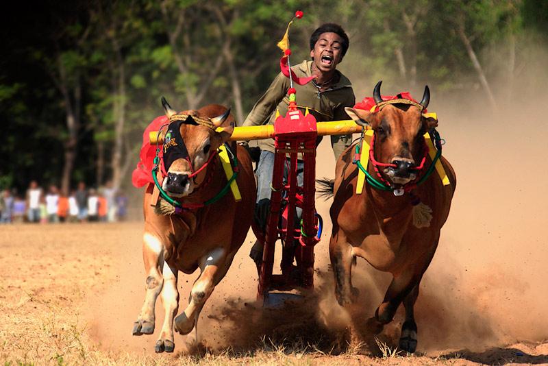 Karapan Sapi : Bull Race Of Madura!, East Java, Indonesia