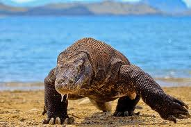 komodo in Indonesia island